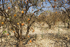 Citrus Tree devastated by drought.