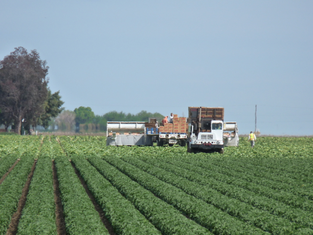 Lettuce Harvest Fresno County