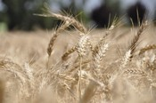 California Wheat, Borlaug