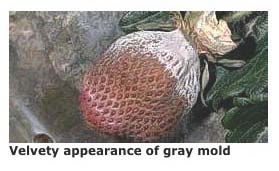 Gray Mold on Strawberry, UC IPM