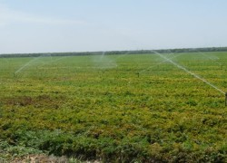 Carrots with Preharvest Sprinkler irrigation