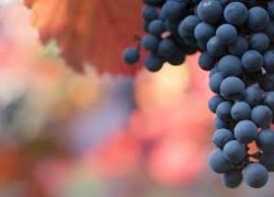 California Cabernet Winegrapes