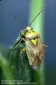 Adult Lygus Bug, Jack Kelly Clark, UC IPM