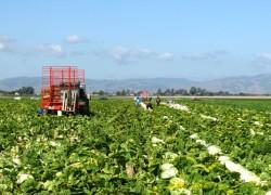 California Vegetable field