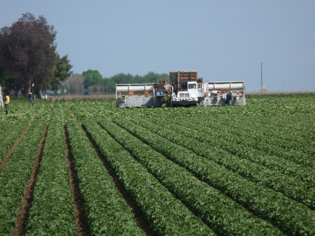 Lettuce Harvest in Fresno County