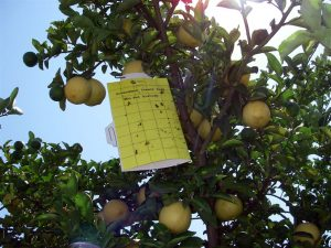 Asian Citrus Psyllic Yellow Trap 2 (Source: Citrus Pest & Disease Prevention Program)