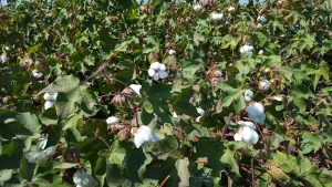 California Cotton, Merced County, Sept 2016