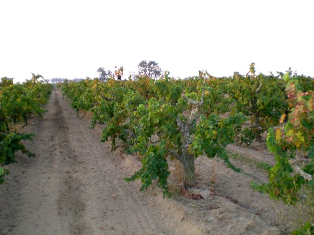 winegrapes fight Pierce's Disease