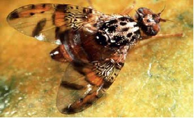 BREAKING NEWS: Medfly Infestation in Los Angeles