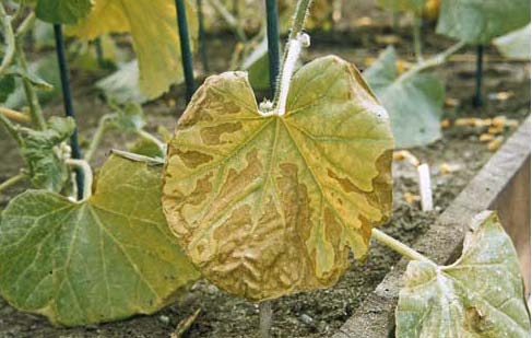 Protecting Melons From Silver Leaf Whitefly