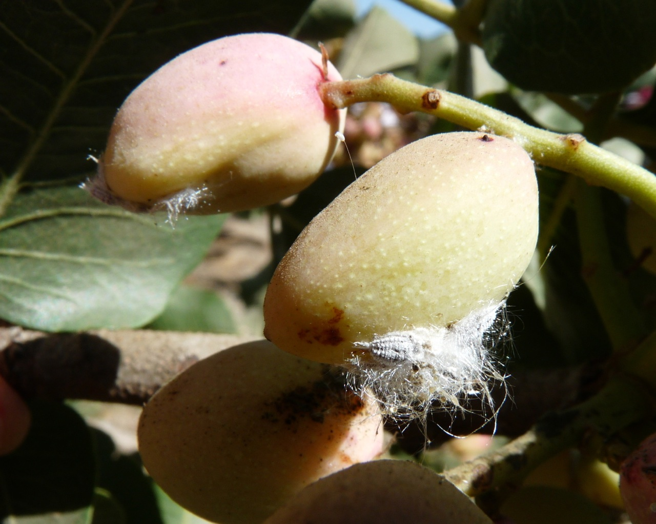 Pistachio Growers: Beware of Gill's Mealybug