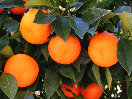 How Homeowners Can Help Stop Citrus Greening