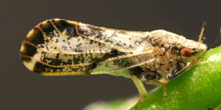 Asian Citrus Psyllid Quarantine Expansion in Tulare County