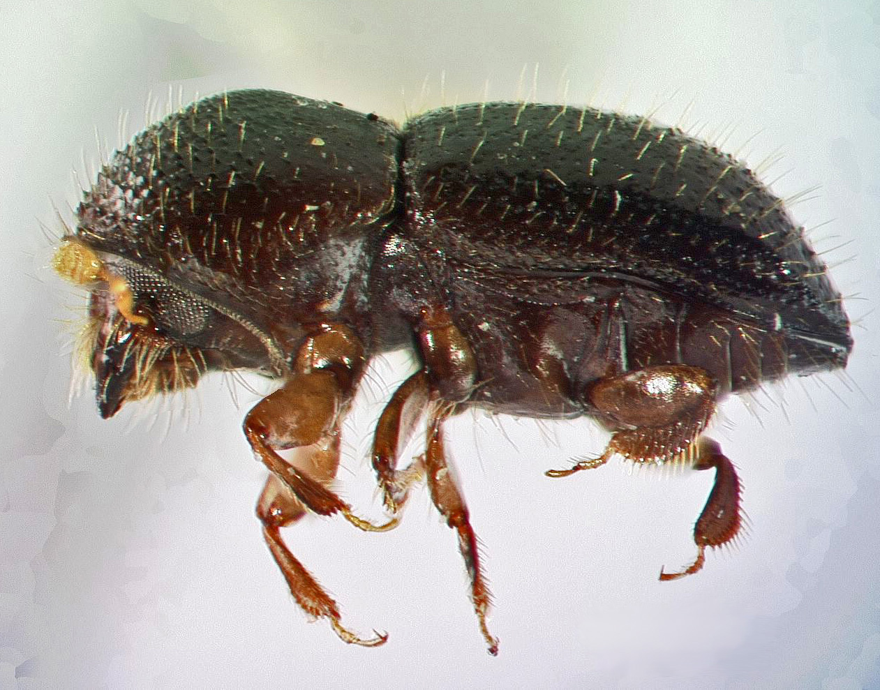 Tree-killing bug invades Southern California