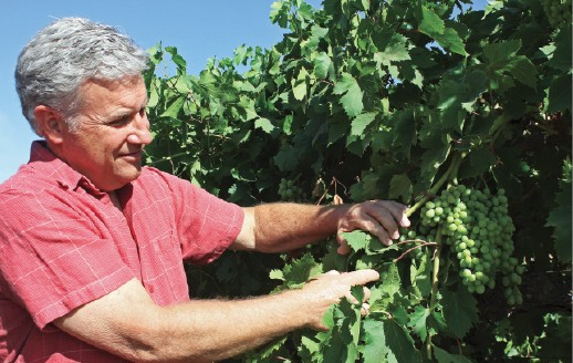 Table Grape Harvest Now Underway in SJV