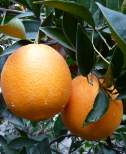 California citrus
