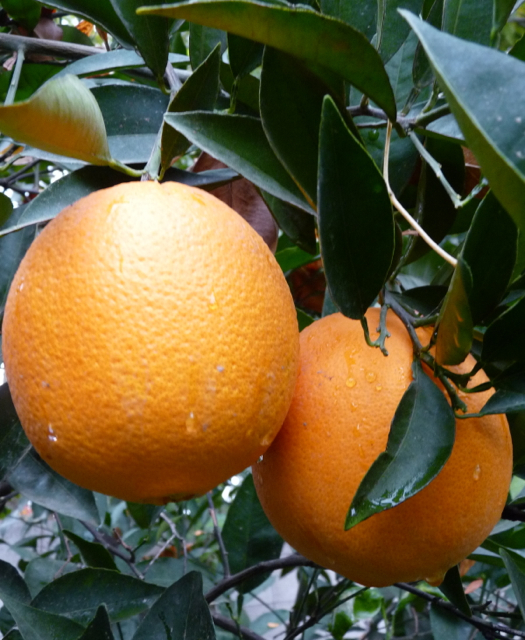 Farmers protect citrus crop from freezing weather