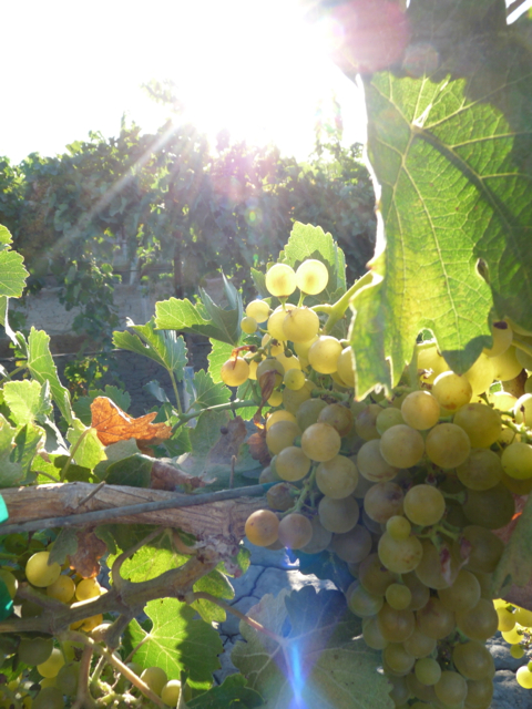 Drought-Focused Soil Nutrient Management Forum Offered for Winegrape Growers