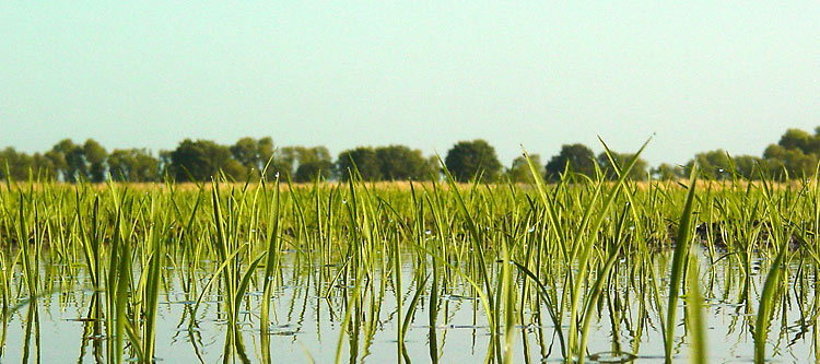 California Rice Farmers Could Get Pollution Credit
