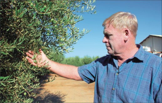 Table olive growers report a 'real bad' crop