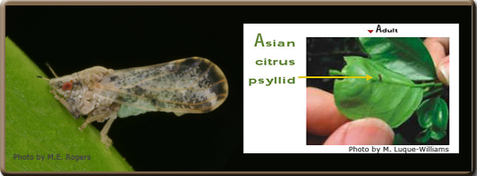 Asian Citrus Psyllid Quarantine Covers Tulare County Completely