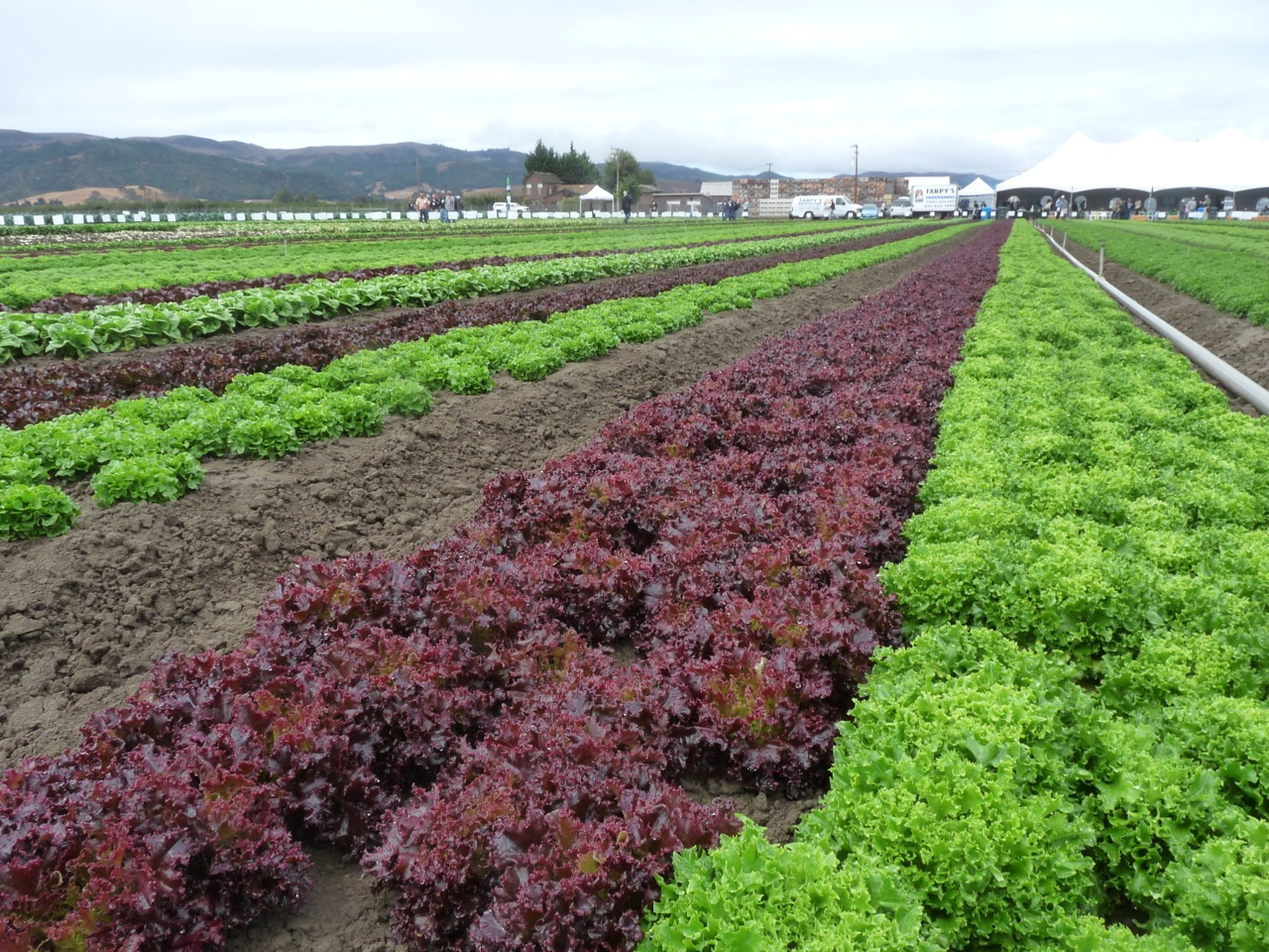 Reducing Food Safety Issues in Leafy Greens