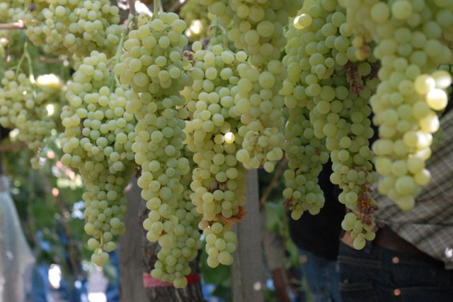 Successful Temecula Winegrape Harvest Wrap-Up