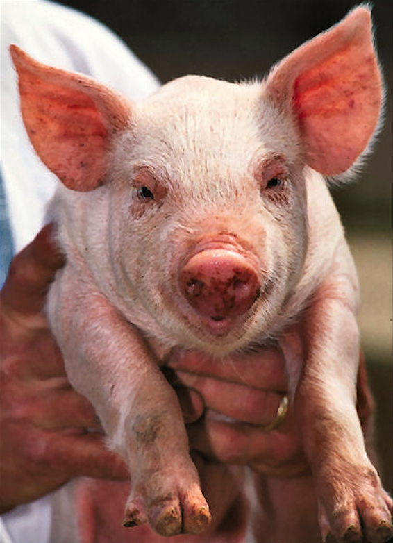 PIGS RESISTANT TO PRRS VIRUS