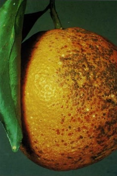 CA Red Scale-Infested Fruit