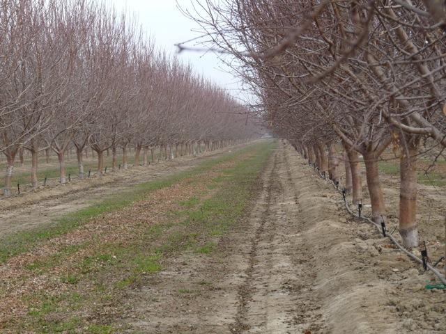 Almond Farm of Future Coming