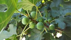 Valley Fig Growers Have Rich History