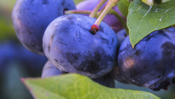 California Blueberry Meets Online for Conference