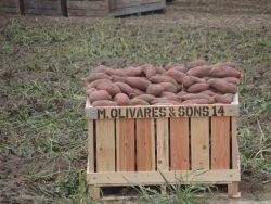 California Sweet Potatoes are One of A Kind