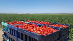 Strawberry Harvest in Santa Maria