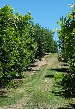 American Pecan Council Begins with Nominations