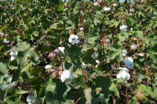 California Cotton, Merced County, Sept 2016