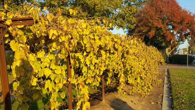 Famous Thompson Seedless Vine in front of Fresno State viticulture and enology building