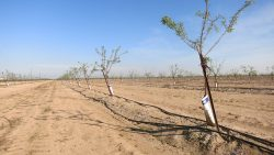 Almond orchard irrigtion