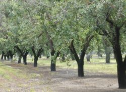 Almond Acreage Continues to Increase