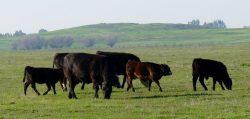 California Cattlemen Challenge Illegal Listing of Grey Wolf