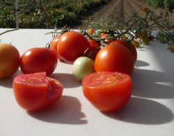 Grafting Rootstocks on Tomatoes, A Growing Trend