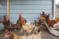 Avian Flu Risk is High