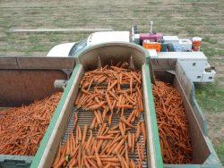 Getting Past Carrot Disease Pressure