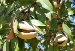 Almond Achievement Award Nominations Being Accepted