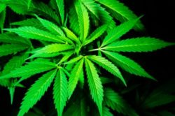 Cannabis Growers Not Following Regs