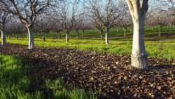 Orchard Sanitation is Critical This Season