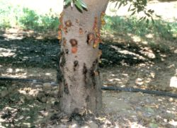 Band Canker Affecting Younger Almonds