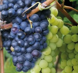 Farmers Launch New Health Advertising Campaign for Grapes