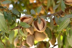 Sacramento Valley Crop Webinars Scheduled