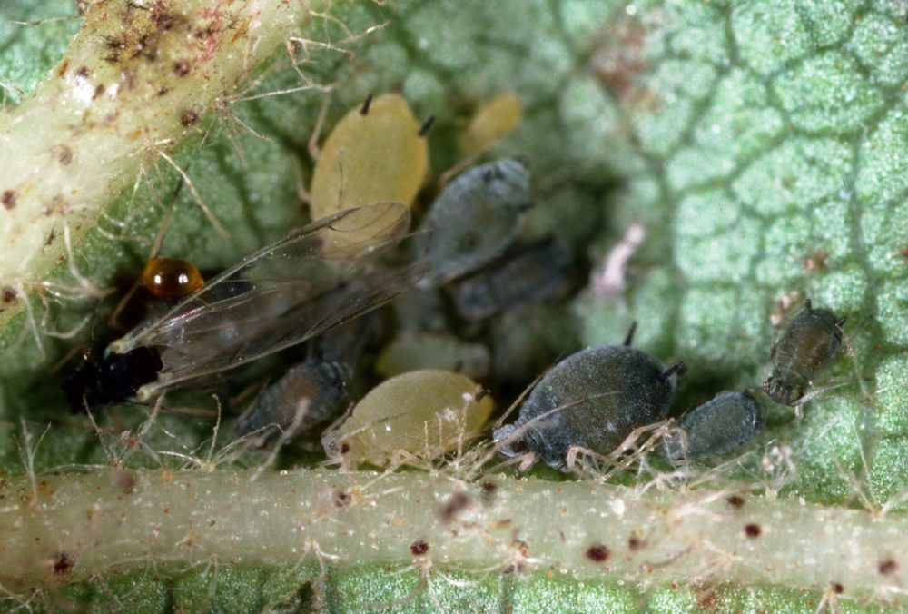Pests And Diseases Cause Worldwide Damage To Crops California Agriculture News California Agriculture